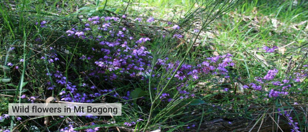 Wildflowers-in-bogong-National-Park