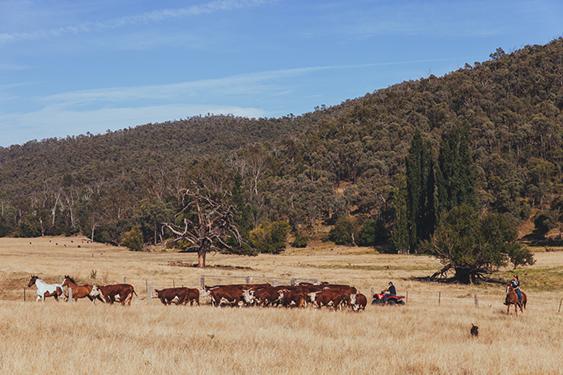 Mitta Valley beef farmers